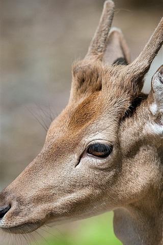 iPhone Wallpaper Deer face close-up