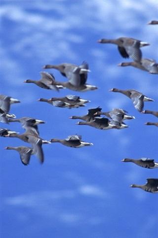 iPhone Wallpaper Ducks flying, blue sky
