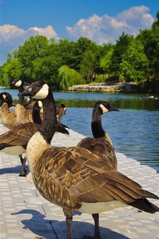 iPhone Wallpaper Ducks rest, lake
