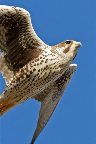iPhone Wallpaper Falcon flying, wings, blue sky