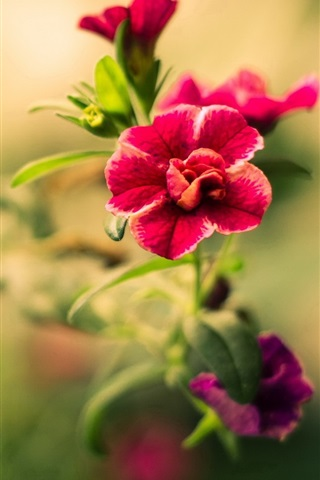 iPhone Wallpaper Flowers photography, red petals, bokeh