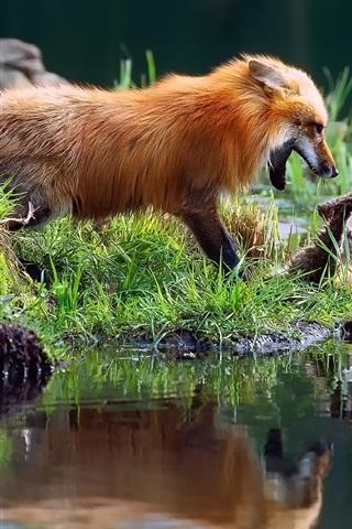 iPhone Wallpaper Foxes playful, grass, water