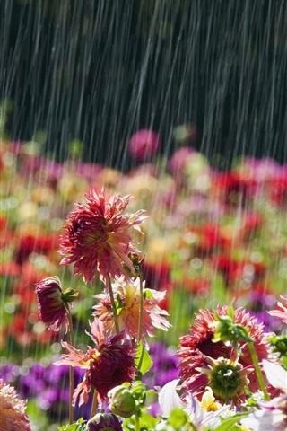 iPhone Wallpaper Garden flowers, rainy