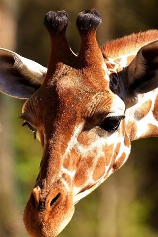 iPhone Wallpaper Giraffe head down