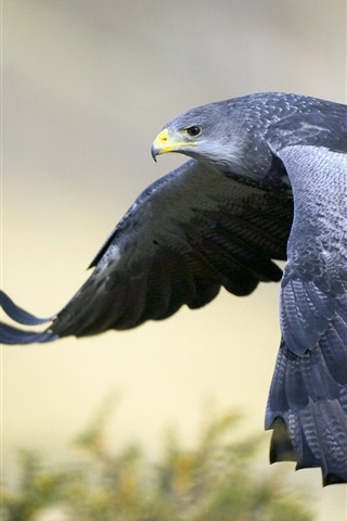 iPhone Wallpaper Gray eagle flying, wings