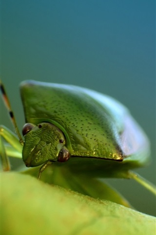 iPhone Wallpaper Green bug