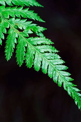 iPhone Wallpaper Green fern leaf close-up