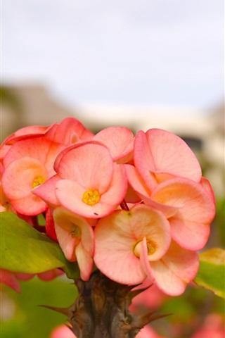 iPhone Wallpaper Little flowers, pink petals, plant