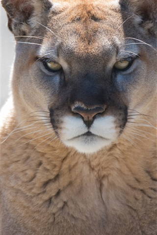 Mountain Lion Front View Cougar 1080x1920 Iphone 8 7 6 6s Plus