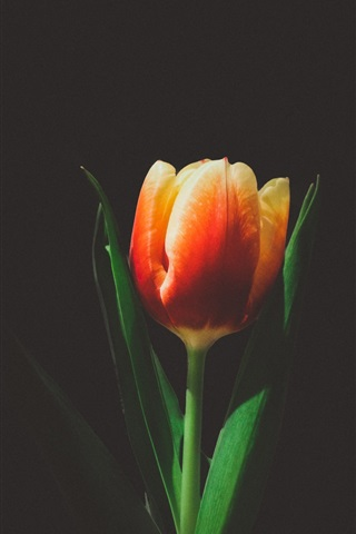 iPhone Wallpaper One tulip flower, black background