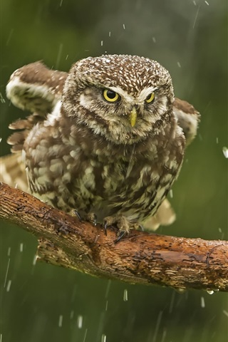 iPhone Wallpaper Owl in rain