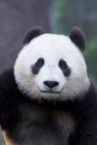 iPhone Wallpaper Panda portrait