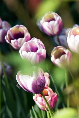 iPhone Wallpaper Purple white petals tulips, bokeh