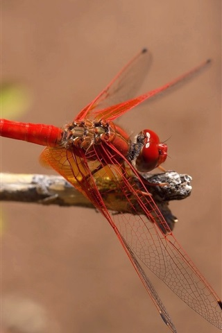 iPhone Wallpaper Red dragonfly, insect
