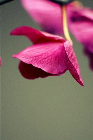 iPhone Wallpaper Red flowers close-up, orchid