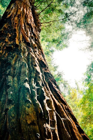iPhone Wallpaper Redwood, trees, forest, view from bottom, glare