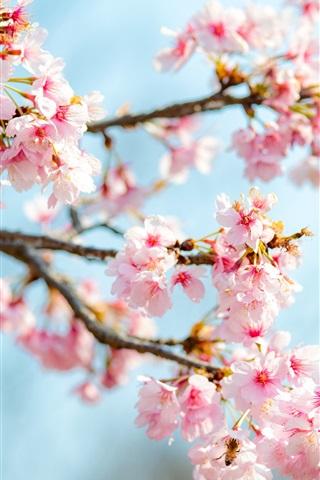 Sakura Bloom Pink Flowers Twigs Spring 1080x1920 Iphone 8 7 6 6s