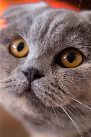 iPhone Wallpaper Scottish fold cat, face, yellow eyes