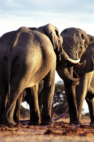 iPhone Wallpaper Two elephants friendship