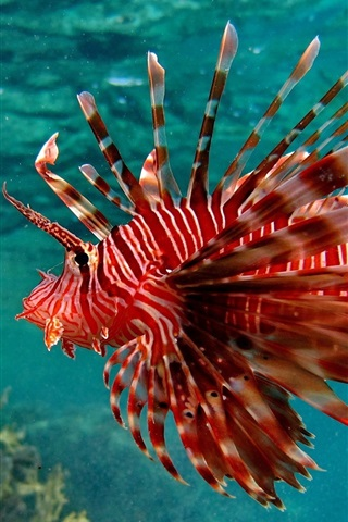 iPhone Wallpaper Underwater, red color fish, water, sea