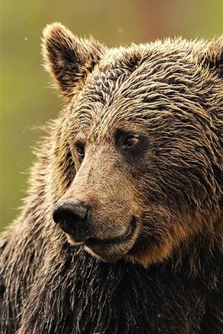 iPhone Wallpaper Wet brown bear look side