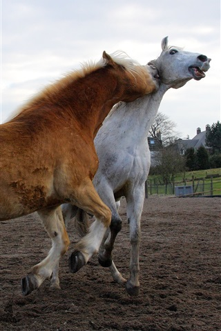 iPhone Wallpaper White and brown horses playful