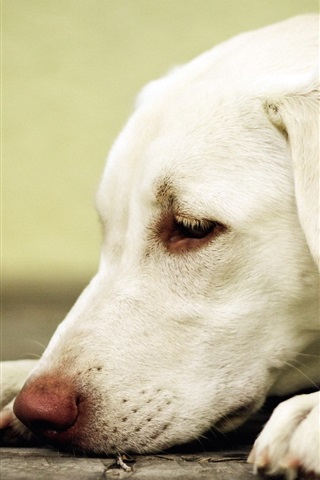 iPhone Wallpaper White dog rest, head, paws