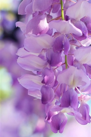 iPhone Wallpaper Wisteria flowers, light purple