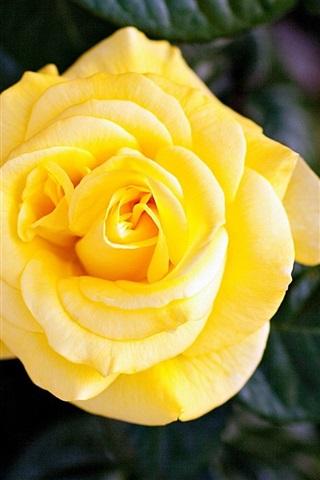 iPhone Wallpaper Yellow rose close-up, bokeh