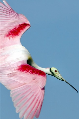 iPhone Wallpaper Bird flying, white red feathers, wings