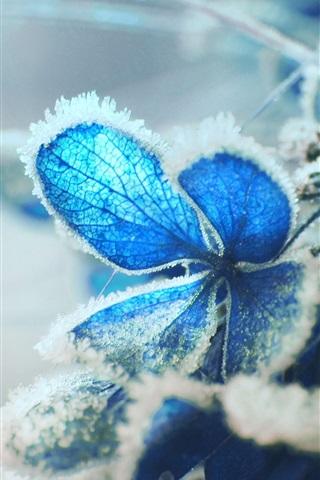 iPhone Wallpaper Blue hydrangea flower, frost