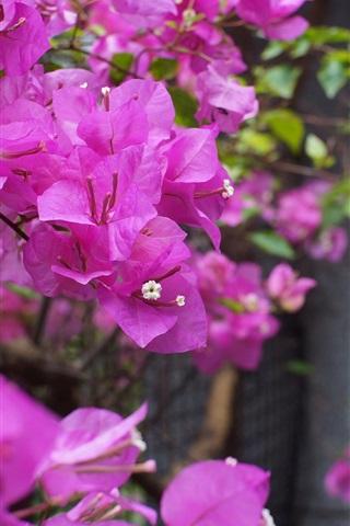 iPhone Wallpaper Bougainvillea, purple flowers, fence, bokeh