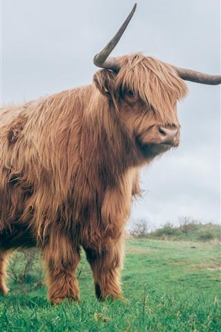 iPhone Wallpaper Bull in grass, horns, fur