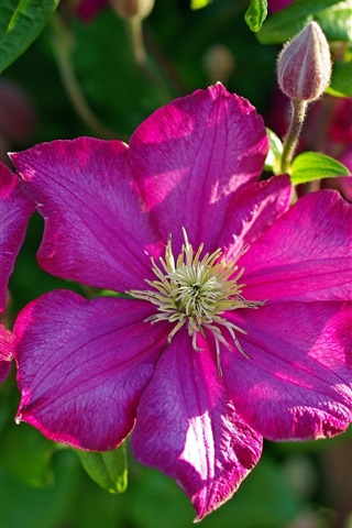 iPhone Wallpaper Clematis pink flowers macro photography