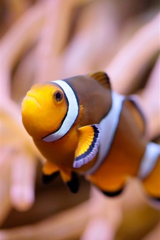 iPhone Wallpaper Clown fish, underwater