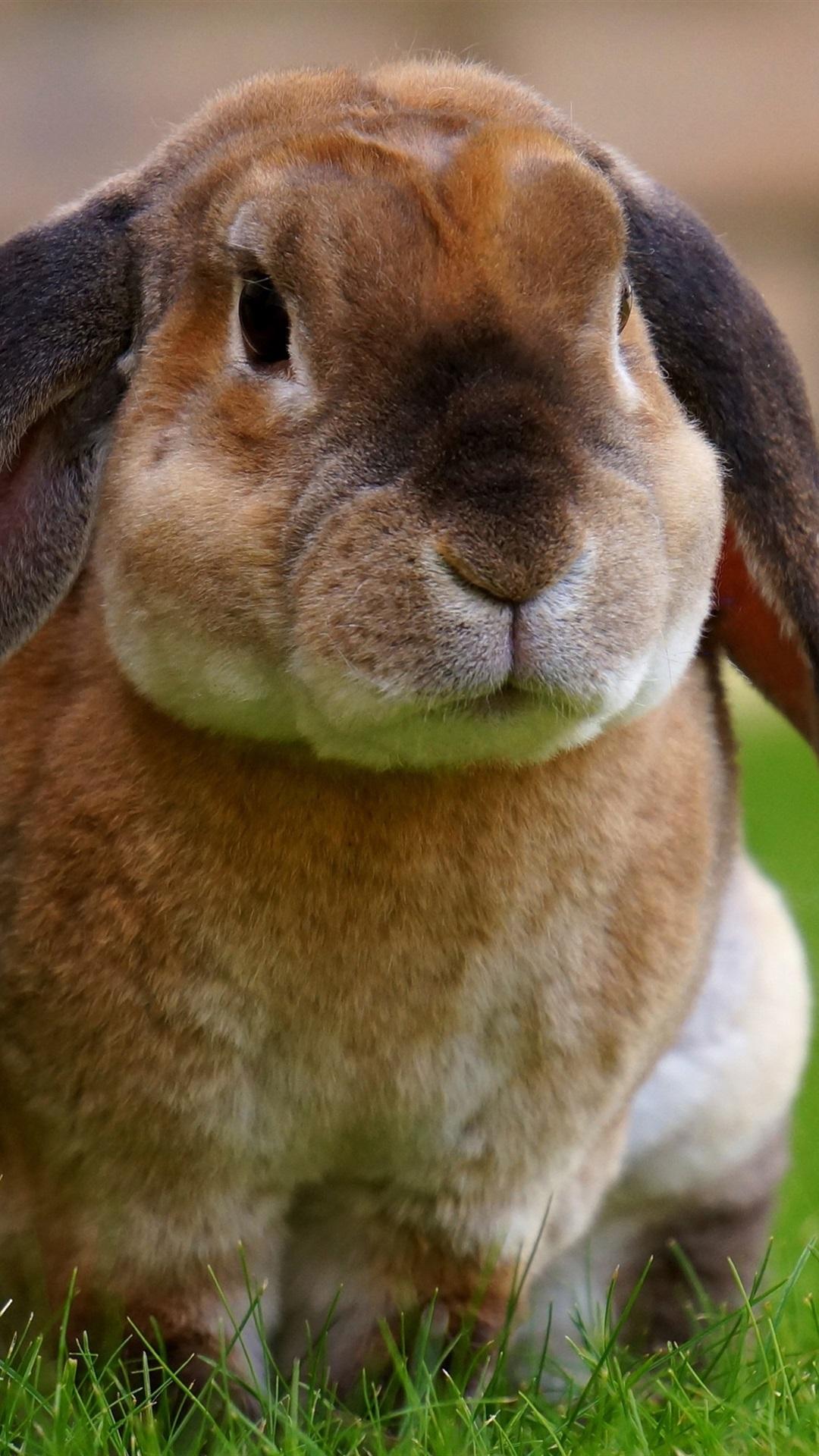 かわいいウサギ 芝生 1080x1920 Iphone 8 7 6 6s Plus 壁紙 背景 画像