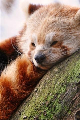 iPhone Wallpaper Cute red panda sleep in tree