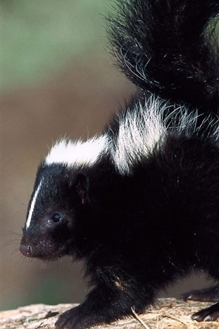 iPhone Wallpaper Cute skunk close-up