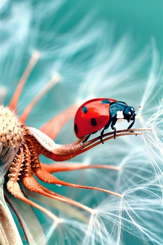 iPhone Wallpaper Dandelion and ladybug macro photography