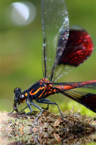 iPhone Wallpaper Dragonfly close-up, insect photography