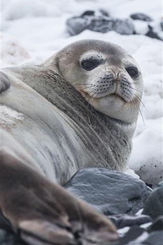 iPhone Wallpaper Fat seal, stones, sea