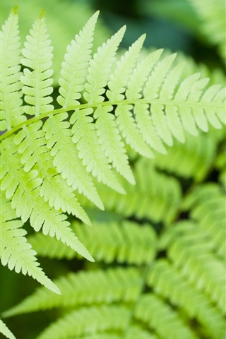 iPhone Wallpaper Fern green leaves close-up
