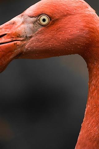 iPhone Wallpaper Flamingo head close-up