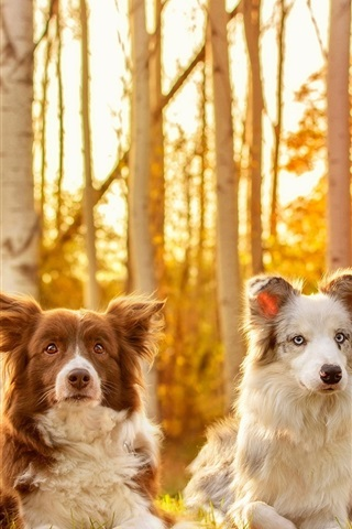 iPhone Wallpaper Four dogs in autumn, grass, trees, sunshine