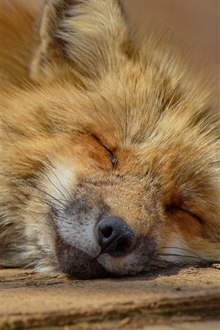 iPhone Wallpaper Fox fall in sleep