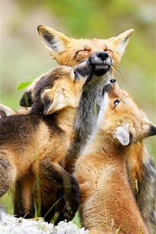 iPhone Wallpaper Fox family, cubs