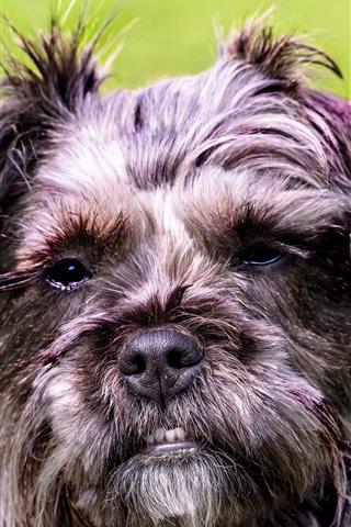 iPhone Wallpaper Furry dog face, grass