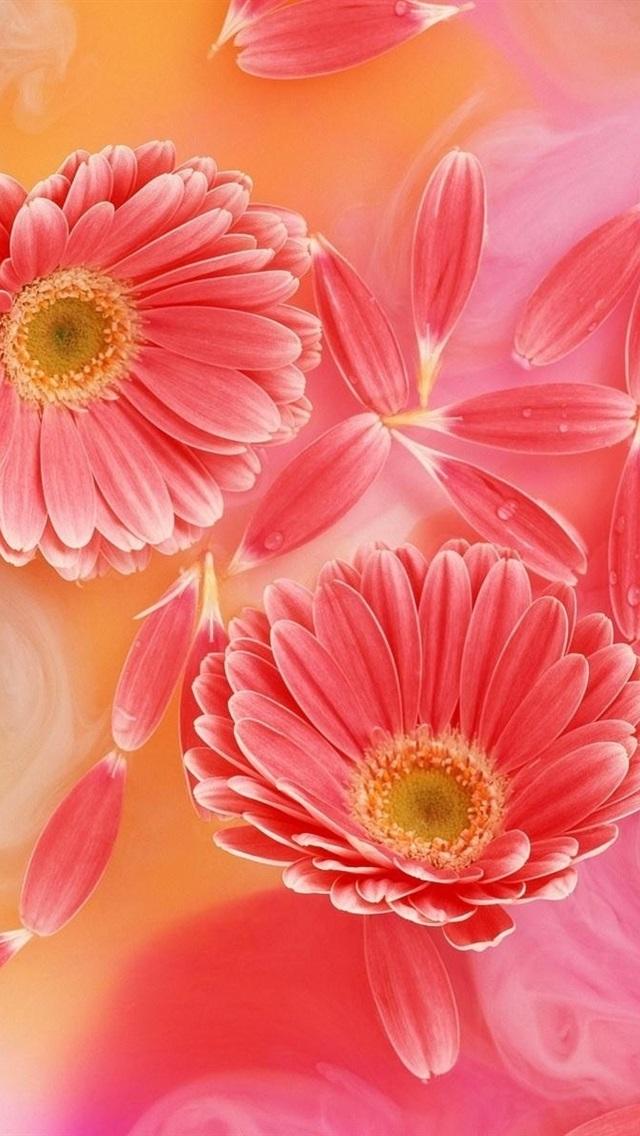 ガーベラピンクの花びら 優しさ 640x1136 Iphone 5 5s 5c Se 壁紙 背景 画像