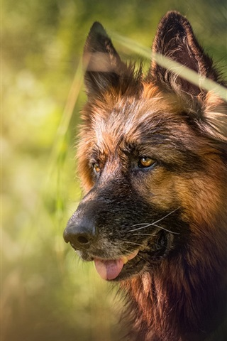 iPhone Wallpaper German shepherd, face, blurry