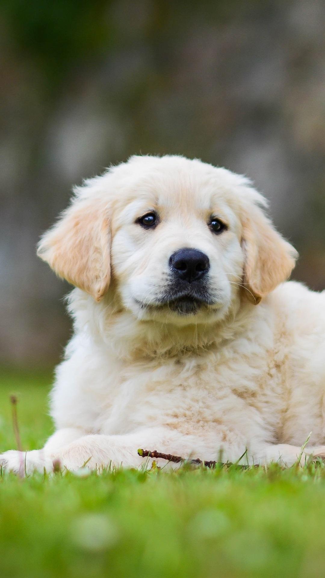 Golden Retriever Cute Puppy Grass 1080x1920 Iphone 8 7 6 6s Plus